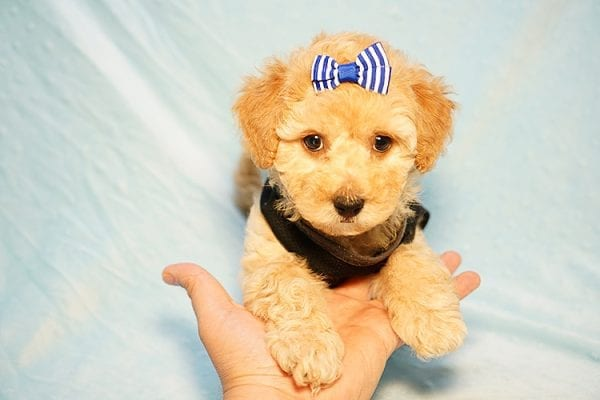 Cinamon Roll - Toy Maltipoo Puppy Found His New Loving Home with Saloni from Los Angeles CA 90010-23772