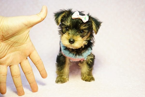 Emma Stone - Teacup Morkie Puppy has found a good loving home with Roberto from Pasadena, CA 91104-24232