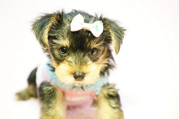 Emma Stone - Teacup Morkie Puppy has found a good loving home with Roberto from Pasadena, CA 91104-24234