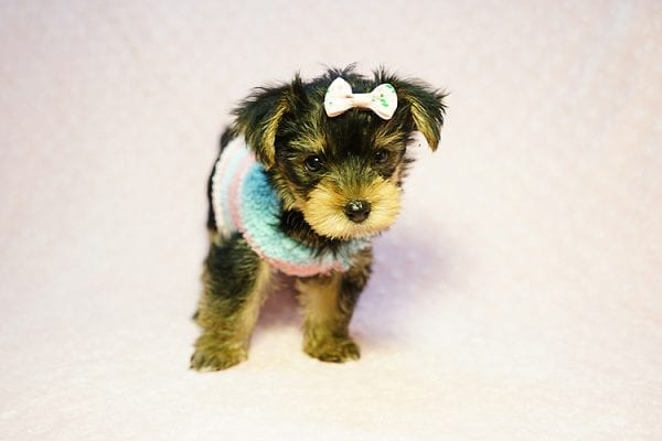Emma Stone - Teacup Morkie Puppy has found a good loving home with Roberto from Pasadena, CA 91104-24236