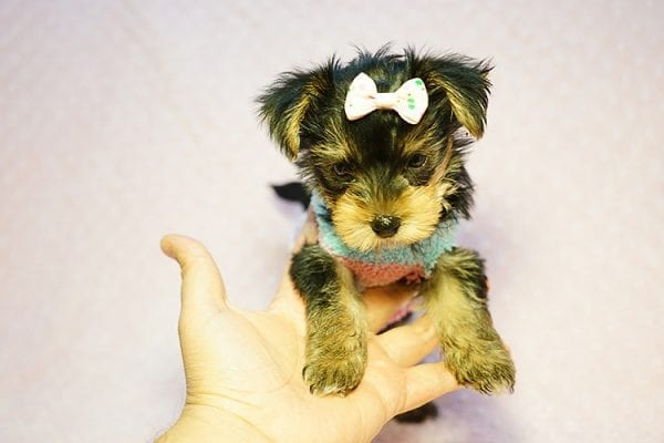 Emma Stone - Teacup Morkie Puppy has found a good loving home with Roberto from Pasadena, CA 91104-24231