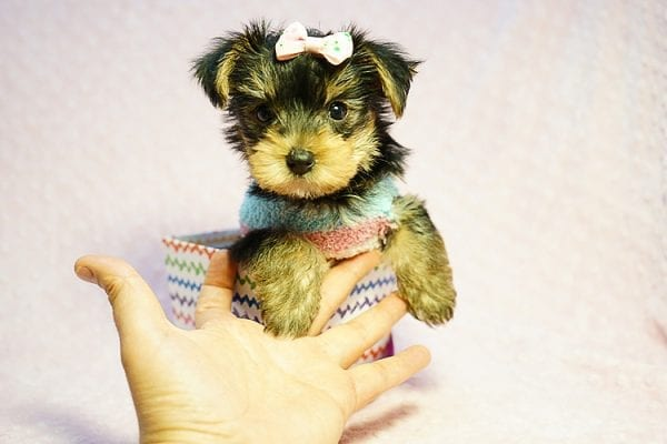 Emma Stone - Teacup Morkie Puppy has found a good loving home with Roberto from Pasadena, CA 91104-24241