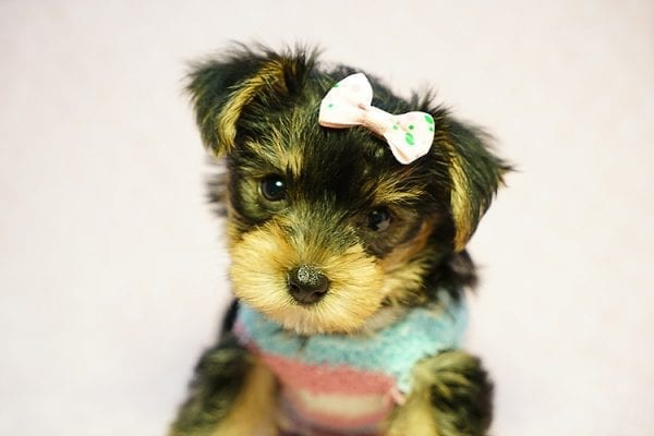 Emma Stone - Teacup Morkie Puppy has found a good loving home with Roberto from Pasadena, CA 91104-24242