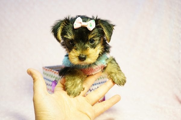 Emma Stone - Teacup Morkie Puppy has found a good loving home with Roberto from Pasadena, CA 91104-24235
