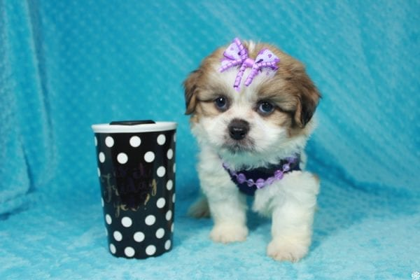 Emoji - Toy ShihTzu puppy has found a good loving home with Lizette from Las Vegas, NV 89122-24118