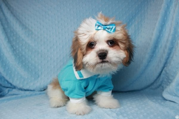 Emoji - Toy ShihTzu puppy has found a good loving home with Lizette from Las Vegas, NV 89122-25131