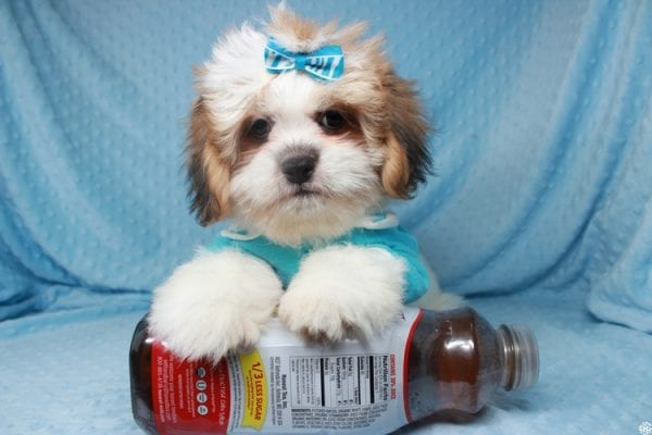 Emoji - Toy ShihTzu puppy has found a good loving home with Lizette from Las Vegas, NV 89122-0