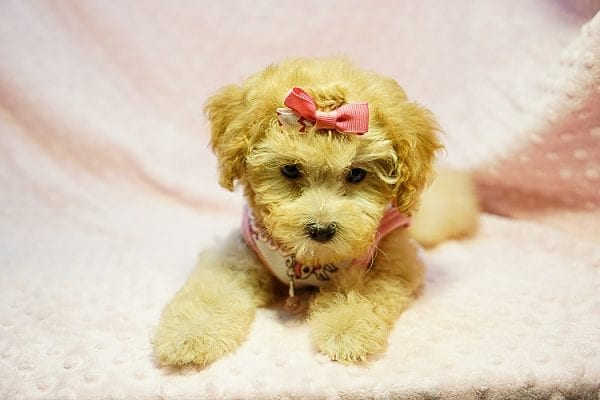 Kate Middleton - Teacup Maltipoo puppy has found a good loving home with Vered from Sunnyvale, CA 94087-23961