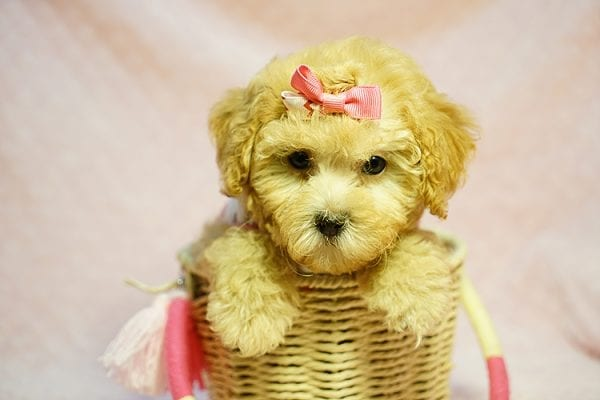 Kate Middleton - Teacup Maltipoo puppy has found a good loving home with Vered from Sunnyvale, CA 94087-23966