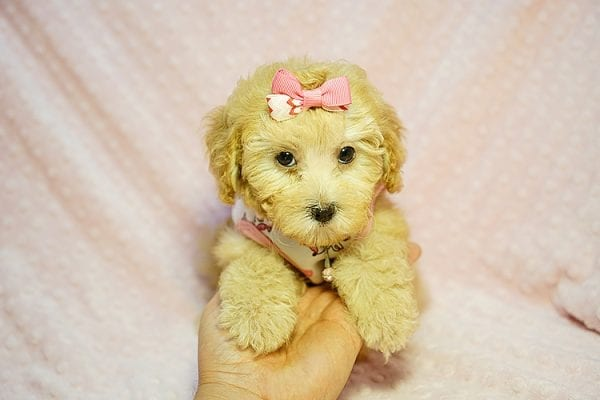 Kate Middleton - Teacup Maltipoo puppy has found a good loving home with Vered from Sunnyvale, CA 94087-23967