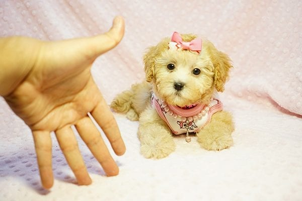 Kate Middleton - Teacup Maltipoo puppy has found a good loving home with Vered from Sunnyvale, CA 94087-0