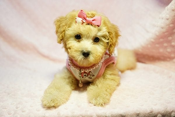 Kate Middleton - Teacup Maltipoo puppy has found a good loving home with Vered from Sunnyvale, CA 94087-23960