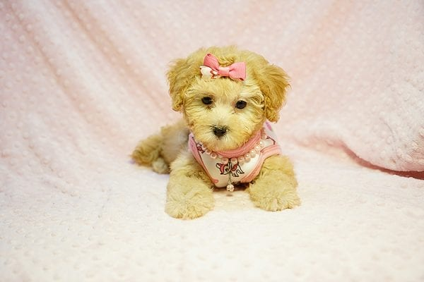 Kate Middleton - Teacup Maltipoo puppy has found a good loving home with Vered from Sunnyvale, CA 94087-23968