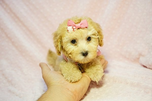 Kate Middleton - Teacup Maltipoo puppy has found a good loving home with Vered from Sunnyvale, CA 94087-23970