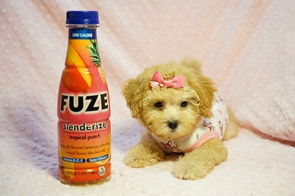 Kate Middleton - Teacup Maltipoo puppy has found a good loving home with Vered from Sunnyvale, CA 94087-23962