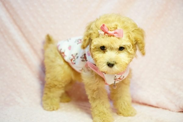 Kate Middleton - Teacup Maltipoo puppy has found a good loving home with Vered from Sunnyvale, CA 94087-23965