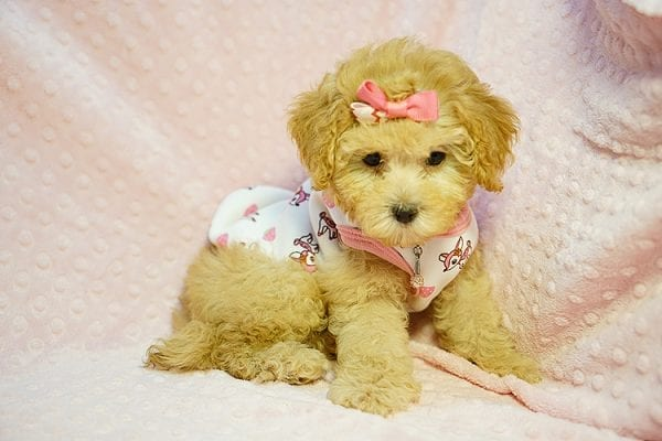 Kate Middleton - Teacup Maltipoo puppy has found a good loving home with Vered from Sunnyvale, CA 94087-23963