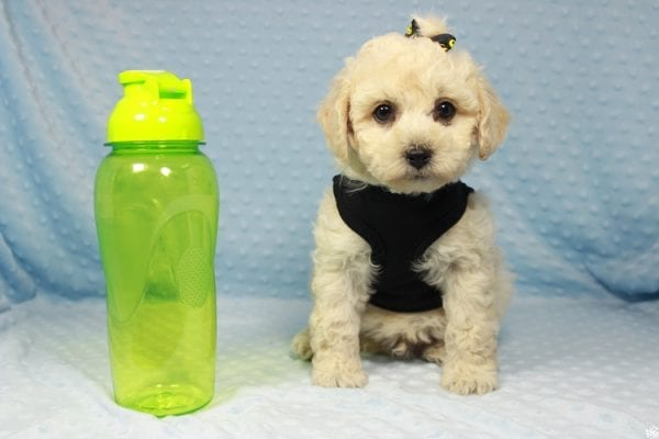 Kendrick Lamar - Toy Maltipoo Puppy has found a good loving home with Erlinda & Zarlyn from Las Vegas, NV 89183-0