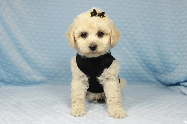 Kendrick Lamar - Toy Maltipoo Puppy has found a good loving home with Erlinda & Zarlyn from Las Vegas, NV 89183-23656