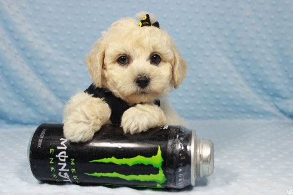 Kendrick Lamar - Toy Maltipoo Puppy has found a good loving home with Erlinda & Zarlyn from Las Vegas, NV 89183-23658