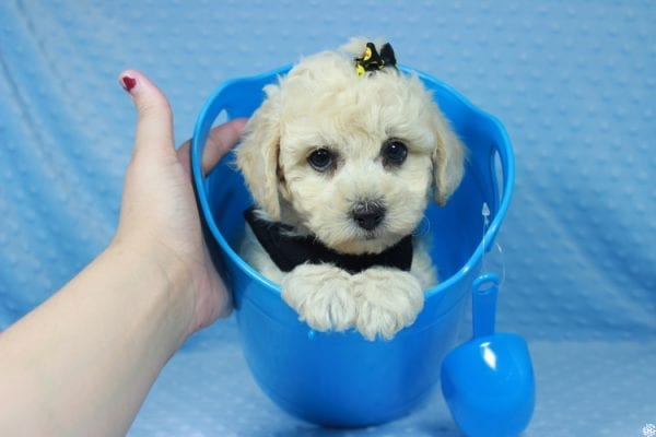 Kendrick Lamar - Toy Maltipoo Puppy has found a good loving home with Erlinda & Zarlyn from Las Vegas, NV 89183-23659