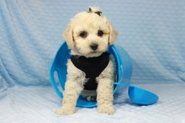 Kendrick Lamar - Toy Maltipoo Puppy has found a good loving home with Erlinda & Zarlyn from Las Vegas, NV 89183-23660
