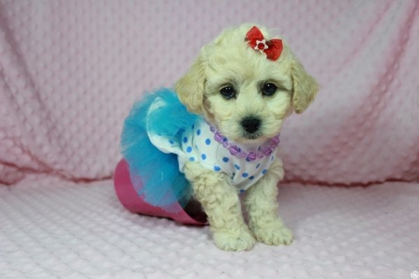 Lady Gaga - Toy Maltipoo Puppy has found a good loving home with Christopher from Las Vegas, NV.-23647