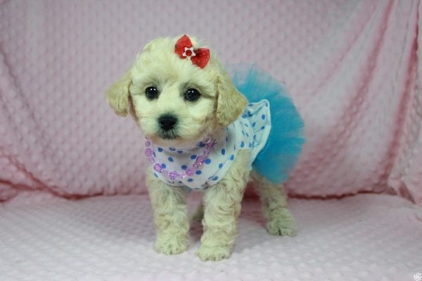 Lady Gaga - Toy Maltipoo Puppy has found a good loving home with Christopher from Las Vegas, NV.-23640
