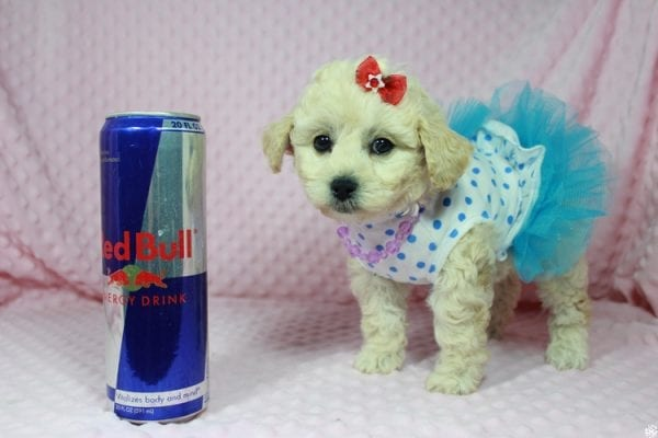 Lady Gaga - Toy Maltipoo Puppy has found a good loving home with Christopher from Las Vegas, NV.-23641