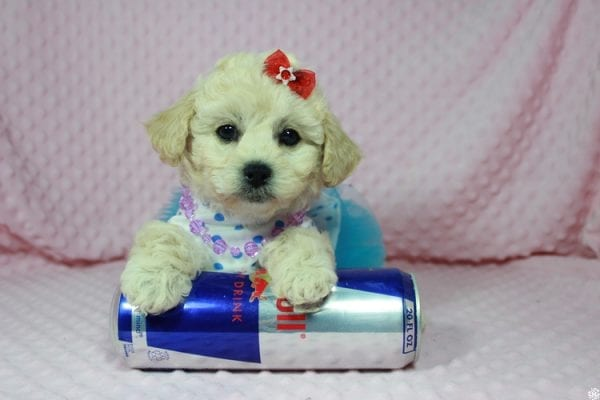 Lady Gaga - Toy Maltipoo Puppy has found a good loving home with Christopher from Las Vegas, NV.-23642