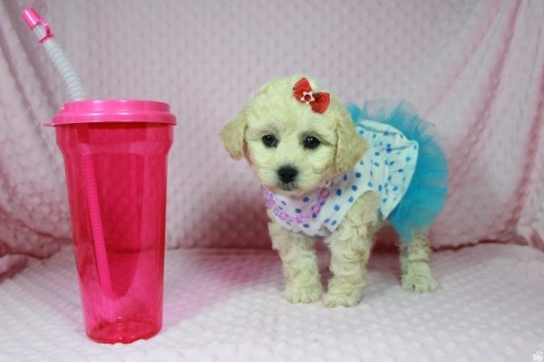 Lady Gaga - Toy Maltipoo Puppy has found a good loving home with Christopher from Las Vegas, NV.-23643