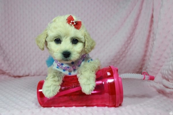 Lady Gaga - Toy Maltipoo Puppy has found a good loving home with Christopher from Las Vegas, NV.-23644
