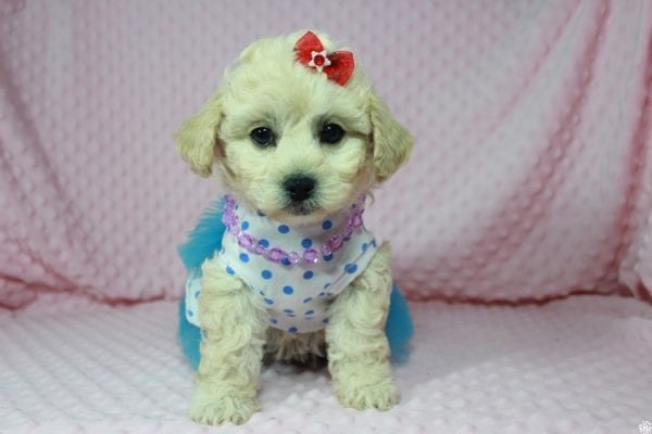 Lady Gaga - Toy Maltipoo Puppy has found a good loving home with Christopher from Las Vegas, NV.-23645