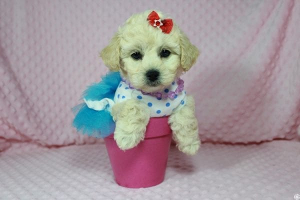 Lady Gaga - Toy Maltipoo Puppy has found a good loving home with Christopher from Las Vegas, NV.-0