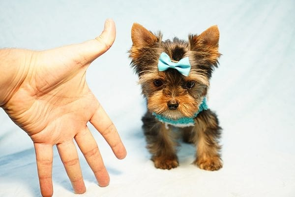 Lionel Messi - Tiny Teacup Yorkie Puppy - On Hold by Lorraine from Las Vegas, NV 89113-24194