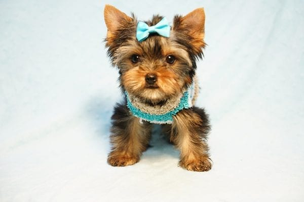 Lionel Messi - Tiny Teacup Yorkie Puppy - On Hold by Lorraine from Las Vegas, NV 89113-24133