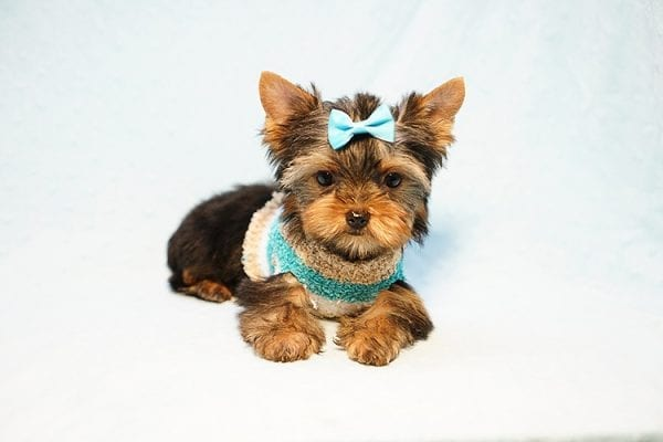 Lionel Messi - Tiny Teacup Yorkie Puppy - On Hold by Lorraine from Las Vegas, NV 89113-24193