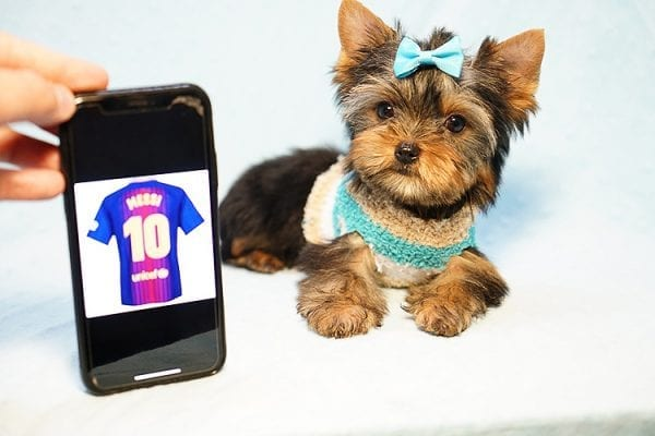 Lionel Messi - Tiny Teacup Yorkie Puppy - On Hold by Lorraine from Las Vegas, NV 89113-24136