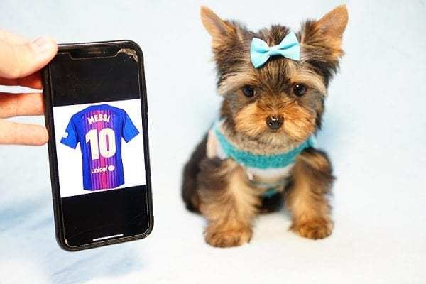 Lionel Messi - Tiny Teacup Yorkie Puppy - On Hold by Lorraine from Las Vegas, NV 89113-0