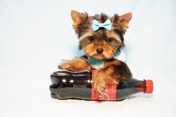 Lionel Messi - Tiny Teacup Yorkie Puppy - On Hold by Lorraine from Las Vegas, NV 89113-24138
