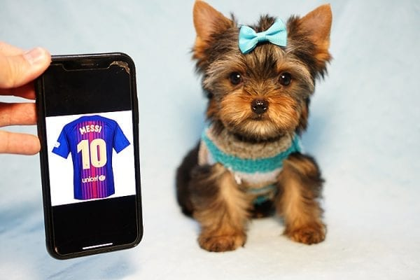Lionel Messi - Tiny Teacup Yorkie Puppy - On Hold by Lorraine from Las Vegas, NV 89113-24135