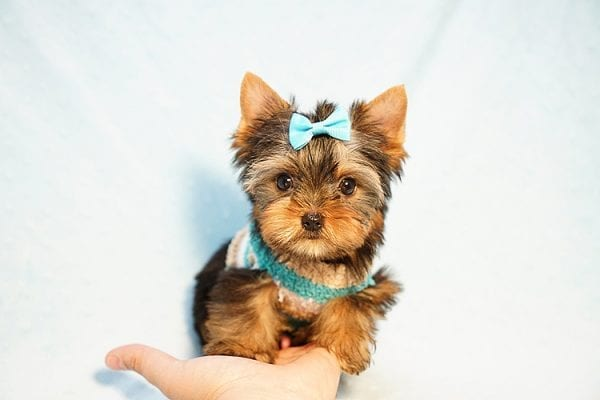 Lionel Messi - Tiny Teacup Yorkie Puppy - On Hold by Lorraine from Las Vegas, NV 89113-24196