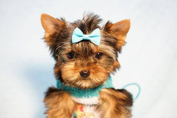 Lionel Messi - Tiny Teacup Yorkie Puppy - On Hold by Lorraine from Las Vegas, NV 89113-24137