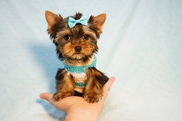 Lionel Messi - Tiny Teacup Yorkie Puppy - On Hold by Lorraine from Las Vegas, NV 89113-24134