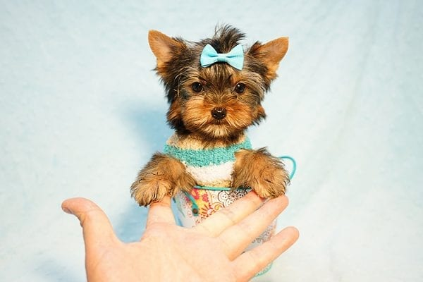Lionel Messi - Tiny Teacup Yorkie Puppy - On Hold by Lorraine from Las Vegas, NV 89113-24195
