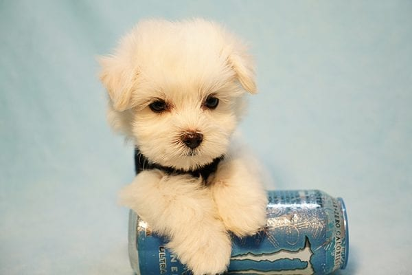 Mr. Incredible - Tiny Teacup Maltese Puppy Found His Good Loving Home With Vivian K. In Westlake Village CA,91362-24183