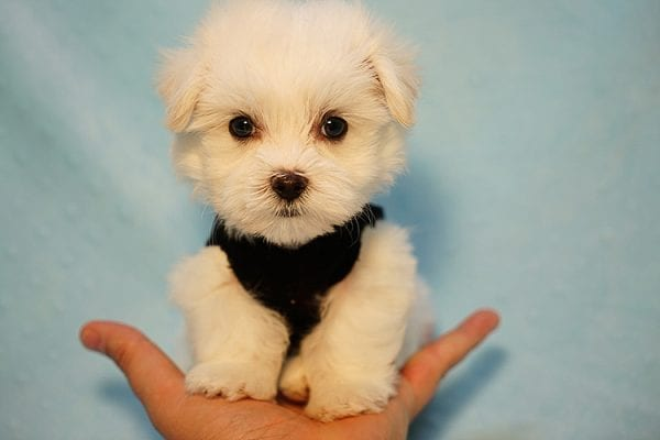 Mr. Incredible - Tiny Teacup Maltese Puppy Found His Good Loving Home With Vivian K. In Westlake Village CA,91362-24185