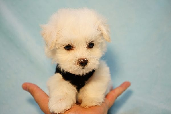 Mr. Incredible - Tiny Teacup Maltese Puppy Found His Good Loving Home With Vivian K. In Westlake Village CA,91362-24186