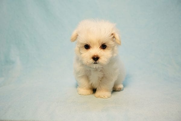 Mr. Incredible - Tiny Teacup Maltese Puppy Found His Good Loving Home With Vivian K. In Westlake Village CA,91362-24178