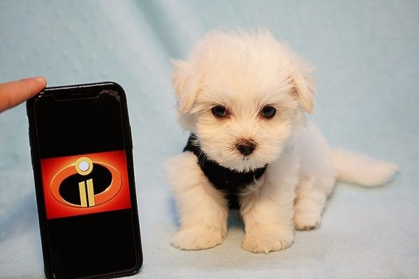 Mr. Incredible - Tiny Teacup Maltese Puppy Found His Good Loving Home With Vivian K. In Westlake Village CA,91362-0